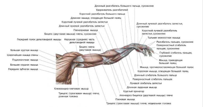 райдо соотносится строение мышц руки картинка показывает