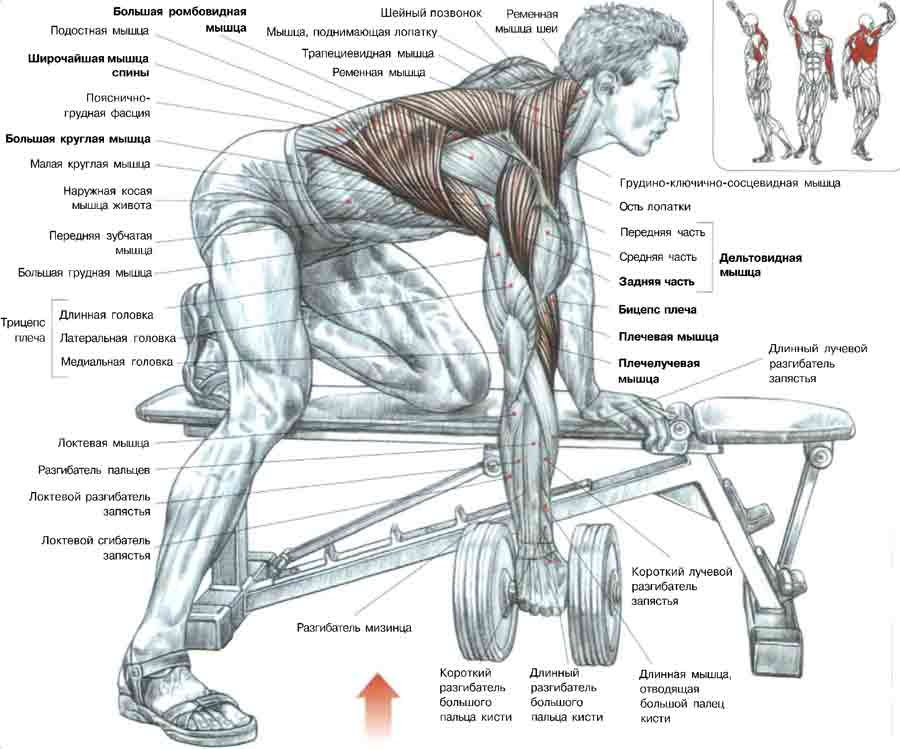 Упражнения для спину с гантелями в домашних условиях для